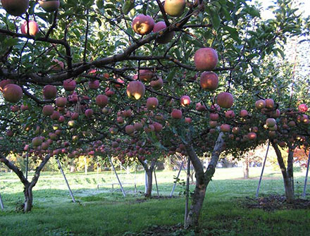 photo: Development of the cultivation technology of apple tree using a flat trellis system